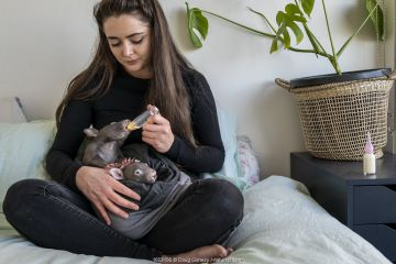 A 6-month-old male orphaned and rescued baby bare-nosed wombat (Vombatus ursinus) named 'Landon', is bottle fed a food supplement by Emily Small, founder of Goongerah Wombat Orphanage.