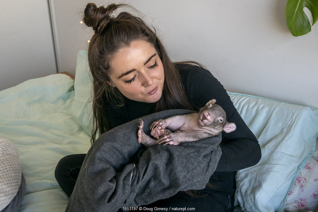 A 6-month-old male orphaned and rescued baby bare-nosed wombat (Vombatus ursinus) named 'Landon', held by Emily Small, founder of Goongerah Wombat Orphanage.