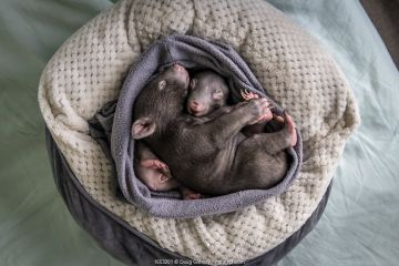 Two male orphaned and rescued baby bare-nosed wombats (Vombatus ursinus) named 'Bronson' and 'Landon', asleep in a home-made pouch, (aged 6 and 7 months). Cared for by Emily Small, founder of Goongerah Wombat Orphanage.