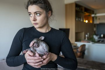 Emily Small, founder of Goongerah Wombat Orphanage, in her apartment, holding 'Landon' a bare-nosed wombat (Vombatus ursinus) male, age 6 months.