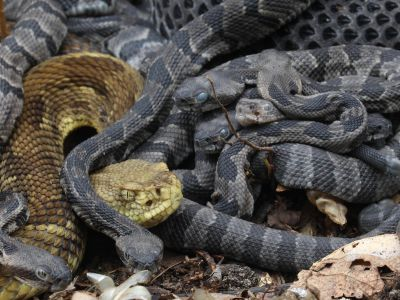 Timber rattlesnakes (Crotalus horridus) at nest site with young, Pennsylvania, USA.