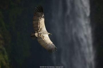 Ruppell's griffon vulture (Gyps rueppellii) flying over Jinbar waterfall, Simien Mountains National Park, Amhara, Ethiopia, September. Critically endangered species.