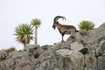 Walia ibex (Capra walie) male with Giant lobelia (Lobelia rhynchopetalum) at around 4,400 meters near Bwahit Pass, Simien Mountains National Park, Amhara, Ethiopia, September.