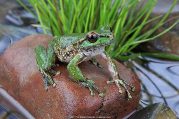Spotted tree frog (Litoria spenceri) male, from Still Creek, north-eastern Victoria, Australia. December, Controlled conditions. Critically endangered species.