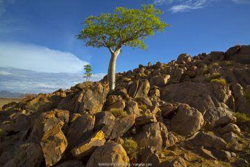Five-lobed sterculia (Sterculia quinqueloba) tree growing on rocky hillside, Namibia