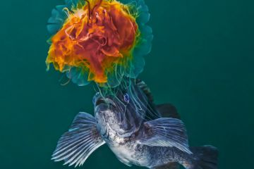 Lion's Mane Jellyfish (Cyanea capillata) with Blue rockfish (Sebastes mystinus) stealing food from the jellyfish's tentacles. Hunt Rock, Queen Charlotte Strait, British Columbia, Canada. September.