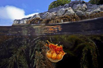 Split level of a Lion's mane Jellyfish (Cyanea capillata) and Feather-boa kelp (Egregia menziesii), Seven-tree Island, Browning Pass, Queen Charlotte Strait, British Columbia, Canada. September.