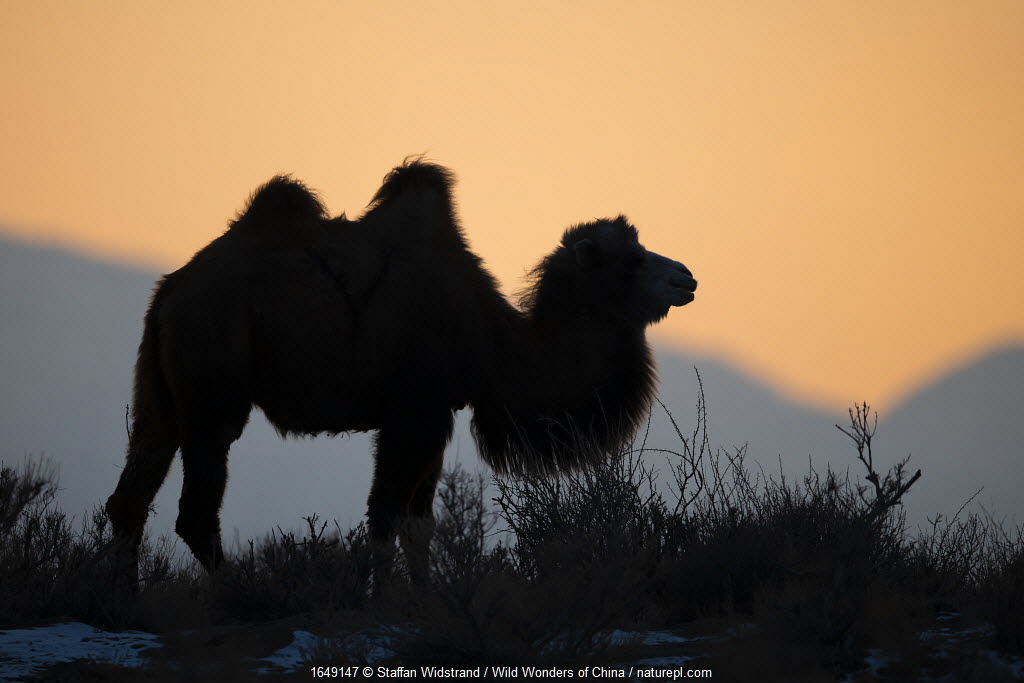 Bactrian camel (Camelus bactrianus) male silhouetted at sunset, living in the wild but owned by a camel herdsman, Turpan Basin, Gobi Desert, Xinjiang, China