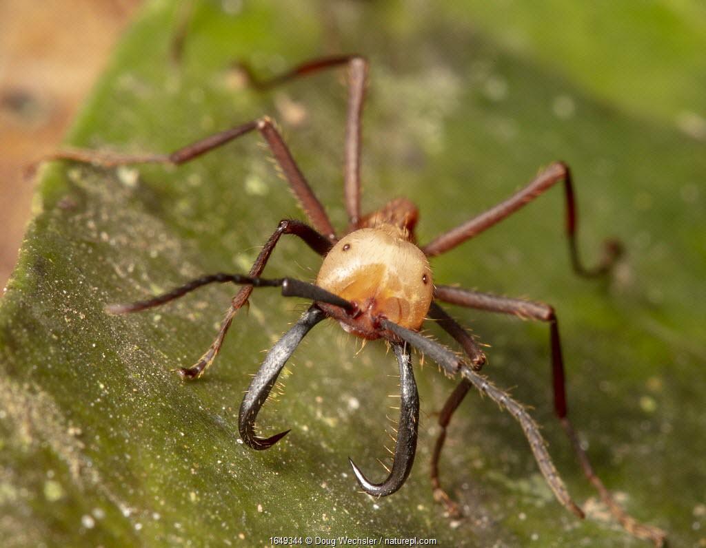 Army ant (Eciton burchellii), Copalinga Reserve, Ecuador.
