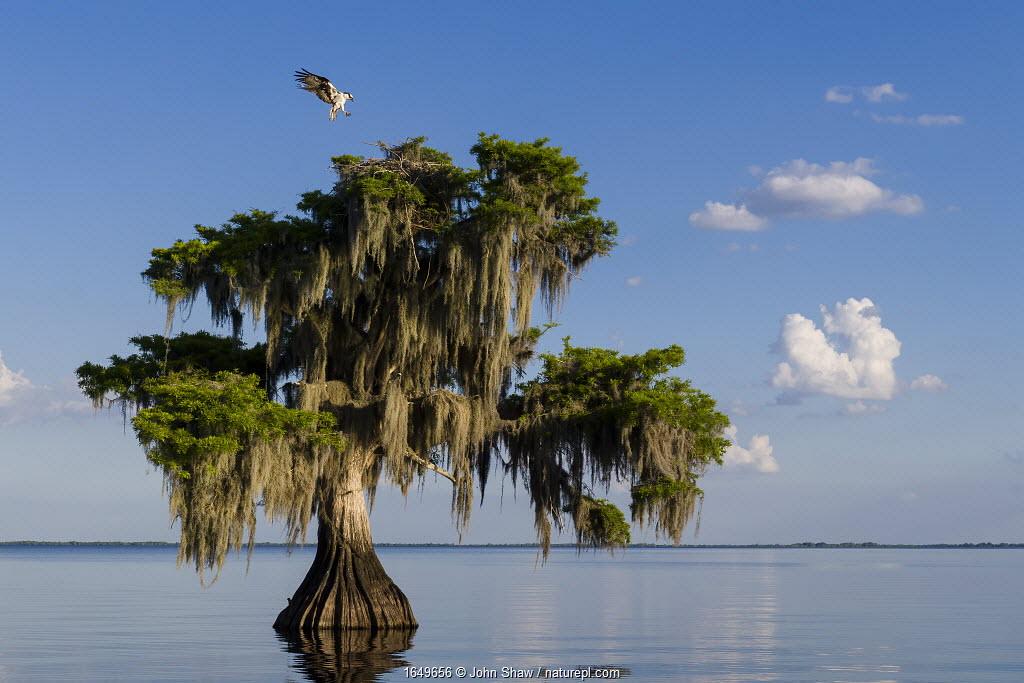 Osprey (Pandion haliaetus) landing at its nest in a Bald cypress tree (Taxodium distichum) draped with epiphytic Spanish moss (Tillandsia usneoides). Blue Cypress Lake, Florida, USA. April.