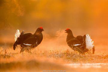 Black Grouse (Tetrao tetrix) two males facing off on a lekking site, Varumaa county, Southern Estonia. April.