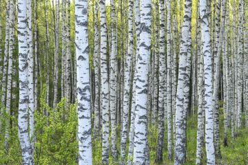 Birch (Betula sp) forest in spring greenery in Tartumaa county, Southern Estonia. May.