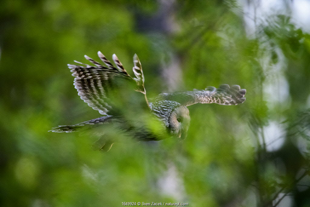 Ural owl (strix uralensis) female flying through spring foliage with a vole to feed to chick, Tartumaa county, Southern Estonia. May.