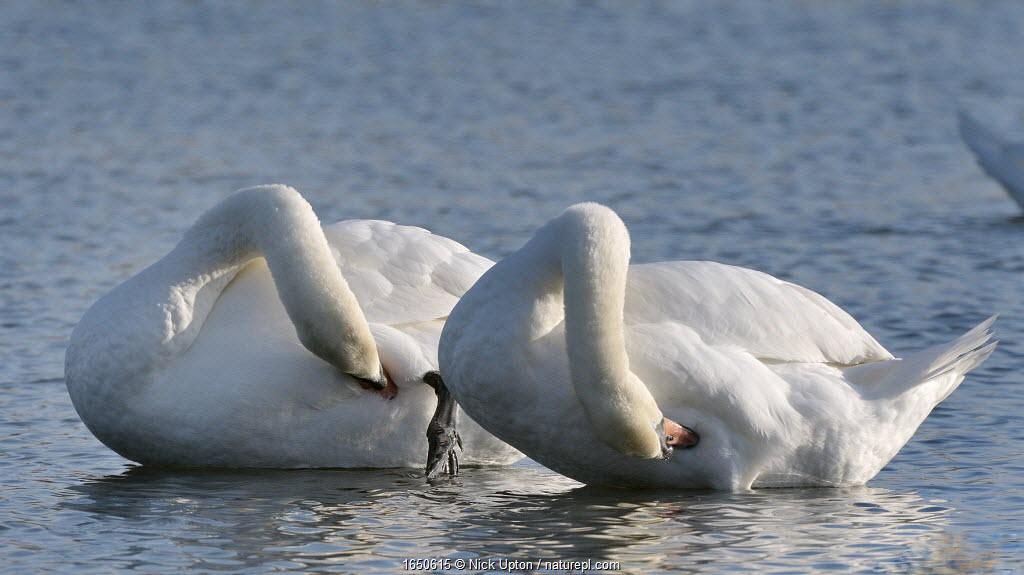 Mute swan (Cygnus olor) pair preening in unison, Gloucestershire, UK, December.