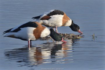 Common shelduck pair (Tadorna tadorna) standing and drinking in the margins of a shallow lake, Gloucestershire, UK, November.