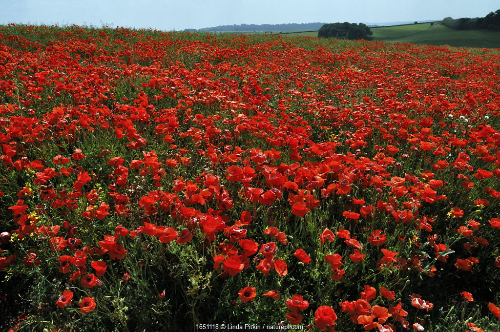 Common poppies (Papaver rhoeas) in field, Chicklade, Wiltshire, England, July.