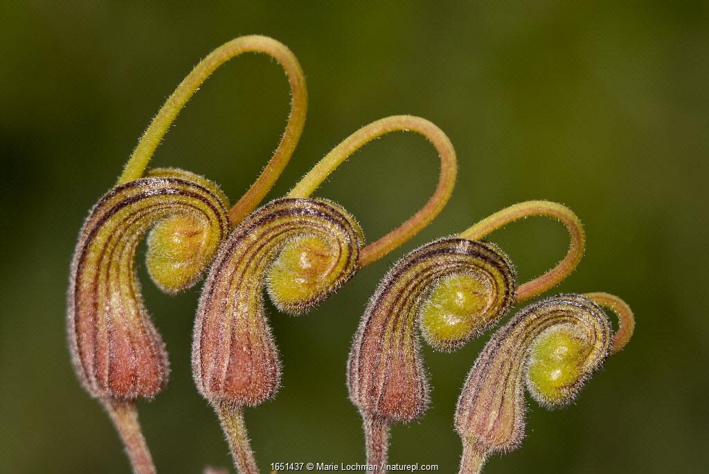 Fuchsia grevillea (Grevillea bipinnatifida ), flower, Darling range, Western Australian endemic, Western Australia.