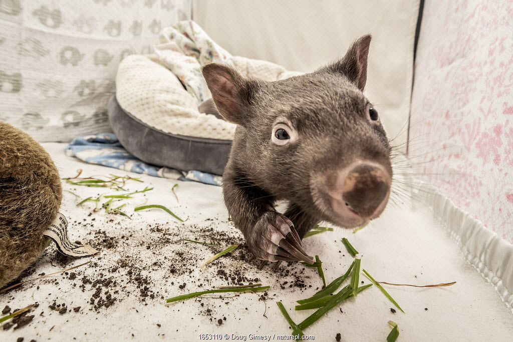 A 8-month-old male orphaned and rescued baby bare-nosed wombat (Vombatus ursinus) Bronson in a cot. With local soil and grass placed in the cot.