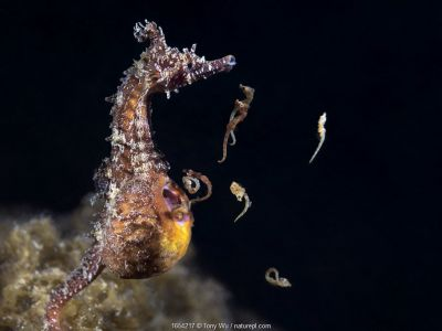 Male Korean seahorse (Hippocampus haema) giving birth. Some of the babies are still curled up inside their egg membranes. Kumamoto Prefecture, Kyushu, Japan.