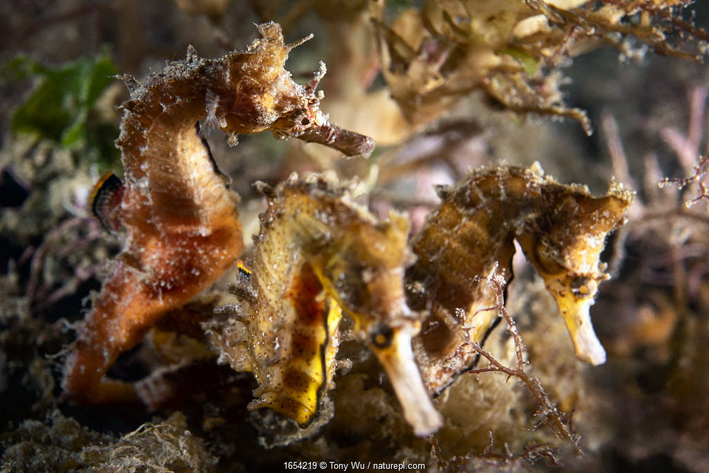 Korean seahorses (Hippocampus haema), male on left with two egg-laden females competing to deposit eggs in his brood pouch. Kumamoto Prefecture, Kyushu, Japan.