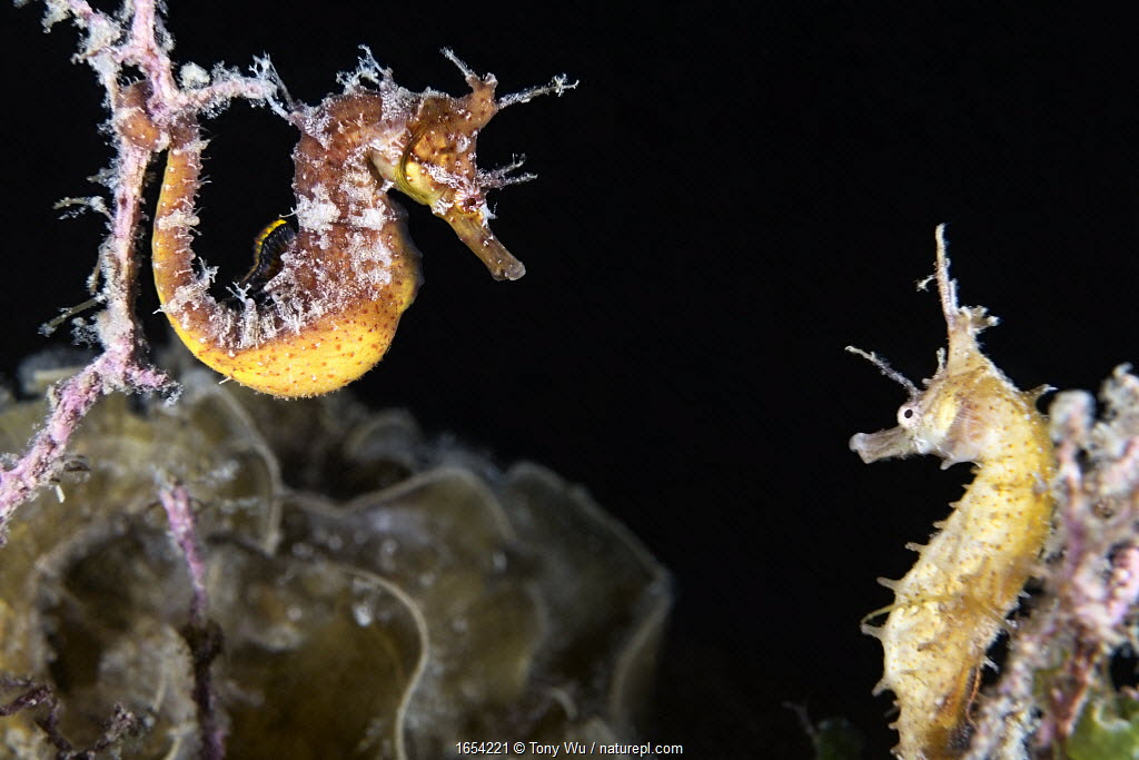 A pair of Korean seahorses (Hippocampus haema) engaged in unusual post-mating courtship. Male on left, female on right. Kumamoto Prefecture, Kyushu, Japan.