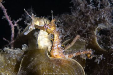 A pair of Korean seahorses (Hippocampus haema) engaged in unusual post-mating courtship. Male in foreground, female behind. Kumamoto Prefecture, Kyushu, Japan.