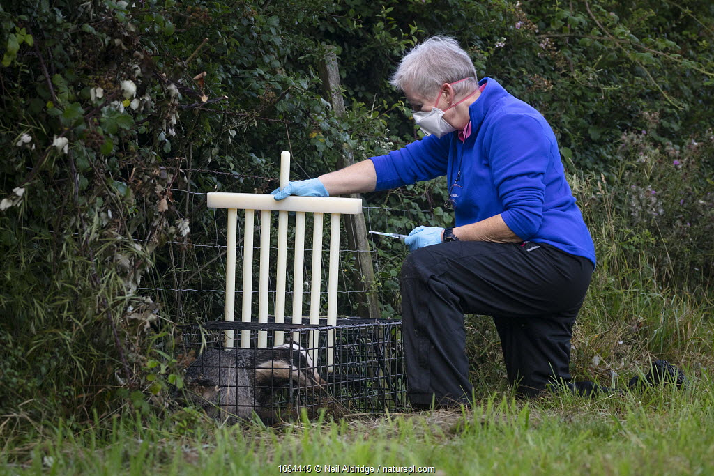 A vaccinator preparing to inoculate a European badger (Meles meles) against TB uses plastic wickets to restrict the animal's movement in a cage trap. North Somerset, UK. Badger vaccination programmes are being carried out in England as a means of controlling the spread of TB between badgers and cattle, and as a viable alternative to the controversial government-sanctioned cull of badgers.