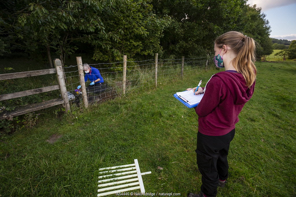 A volunteer records data while a vaccinator inoculates a European badger (Meles meles) against TB. North Somerset, UK. Badger vaccination programmes are being carried out in England as a means of controlling the spread of TB between badgers and cattle, and as a viable alternative to the controversial government-sanctioned cull of badgers.