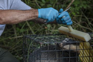 A vaccinator prepares to clip the fur of a European badger (Meles meles) in a cage trap after vaccinating it against TB. North Somerset, UK. The clipped area will be sprayed with a dye to indicate that the badger has been vaccinated in case it is trapped again. Badger vaccination programmes are being carried out in England as a means of controlling the spread of TB between badgers and cattle, and as a viable alternative to the controversial government-sanctioned cull of badgers.