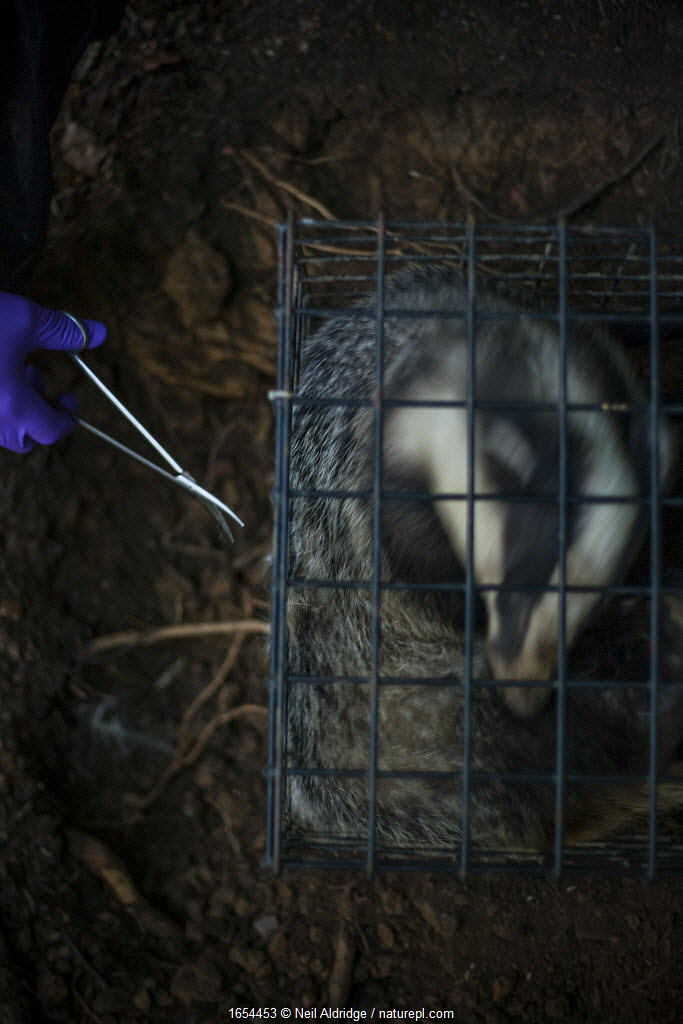 A European badger (Meles meles) in a cage trap has its fur cut by scissors after being vaccinated against TB. North Somerset, UK. The clipped area will be sprayed with a dye to indicate that the badger has been vaccinated in case it is trapped again. Badger vaccination programmes are being carried out in England as a means of controlling the spread of TB between badgers and cattle, and as a viable alternative to the controversial government-sanctioned cull of badgers.