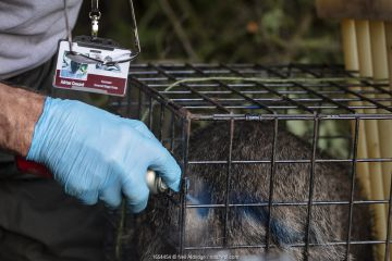 A European badger (Meles meles) is sprayed with blue dye in a cage trap after being vaccinated against TB. North Somerset, UK. The mark indicates that the badger has already been vaccinated in case it is trapped again. Badger vaccination programmes are being carried out in England as a means of controlling the spread of TB between badgers and cattle, and as a viable alternative to the controversial government-sanctioned cull of badgers.