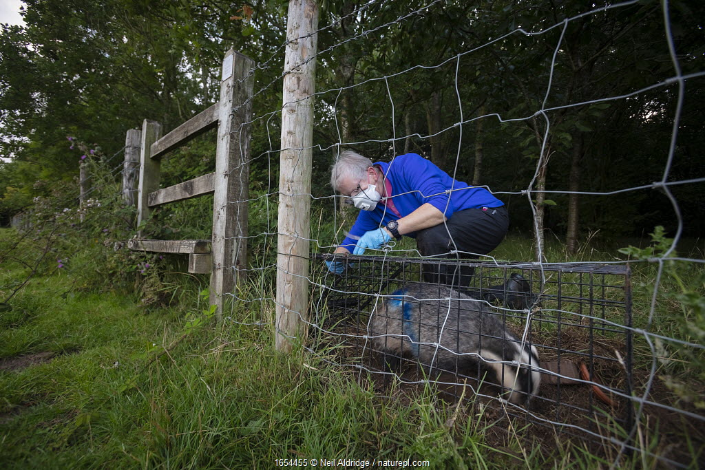 A European badger (Meles meles) being released from a cage trap after vaccination against TB. North Somerset, UK. The blue spray on its side indicates the badger has been vaccinated in case it is trapped again. Badger vaccination programmes are being carried out in England as a means of controlling the spread of TB between badgers and cattle, and as a viable alternative to the controversial government-sanctioned cull of badgers.
