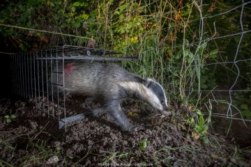 A European badger (Meles meles) leaves a cage trap after being vaccinated against TB. North Somerset, UK. The red spray on its side indicates the badger has been vaccinated in case it is trapped again. Badger vaccination programmes are being carried out in England as a means of controlling the spread of TB between badgers and cattle, and as a viable alternative to the controversial government-sanctioned cull of badgers.