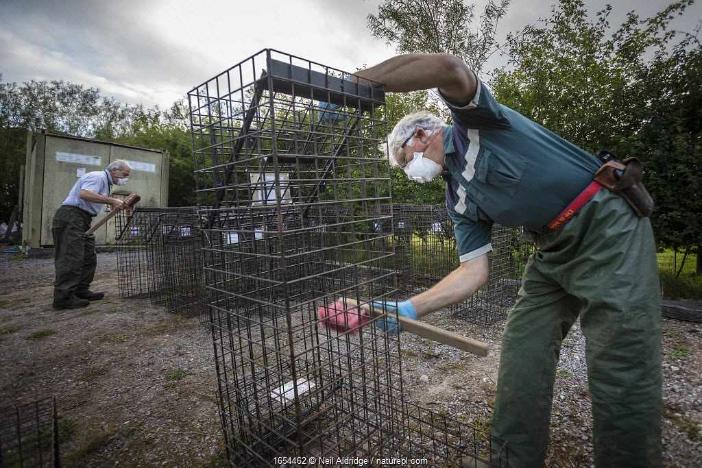 Cages used for trapping European badgers (Meles meles) for vaccination against TB are scrubbed. North Somerset, UK. Badger vaccination programmes are being carried out in England as a means of controlling the spread of TB between badgers and cattle, and as a viable alternative to the controversial government-sanctioned cull of badgers.