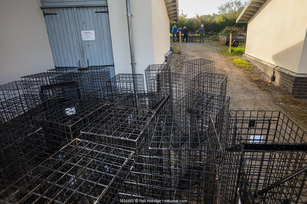 Cages used for trapping European badgers (Meles meles) for vaccination against TB are stacked up to be cleaned. North Somerset, UK. Badger vaccination programmes are being carried out in England as a means of controlling the spread of TB between badgers and cattle, and as a viable alternative to the controversial government-sanctioned cull of badgers.