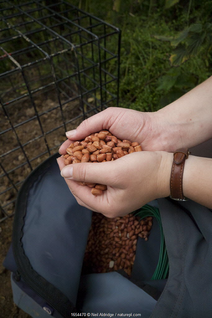 A field worker baits a cage trap with peanuts in preparation for carrying out the vaccination of European Badgers (Meles meles) in Gloucestershire, United Kingdom. Badger vaccination programmes are being carried out in England as a means of controlling the spread of TB between badgers and cattle, and as a viable alternative to the controversial government-sanctioned cull of badgers.