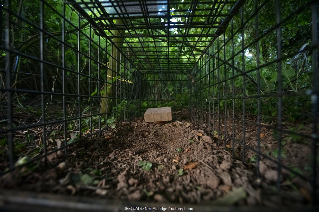 A cage trap set to catch a European badger (Meles meles) as part of a programme to vaccinate badgers against TB in North Somerset, UK. The trap is baited with peanuts. Badger vaccination programmes are being carried out in England as a means of controlling the spread of TB between badgers and cattle, and as a viable alternative to the controversial government-sanctioned cull of badgers.
