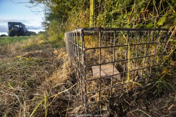 A cage trap is set to catch a European badger (Meles meles) as part of a programme to vaccinate badgers against TB in North Somerset, UK. Badger vaccination programmes are being carried out in England as a means of controlling the spread of TB between badgers and cattle, and as a viable alternative to the controversial government-sanctioned cull of badgers.