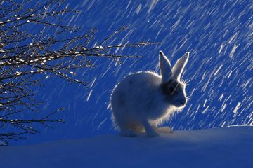 Mountain hare (Lepus timidus) smelling branches of a birch tree in falling snow, Vauldalen, Norway, April.
