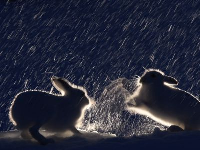 Three Mountain hares (Lepus timidus) fighting at night, Vauldalen, Norway, April.
