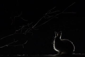 Mountain hare (Lepus timidus) feeding on goat willow (Salix caprea) at night, Vauldalen, Norway, April.