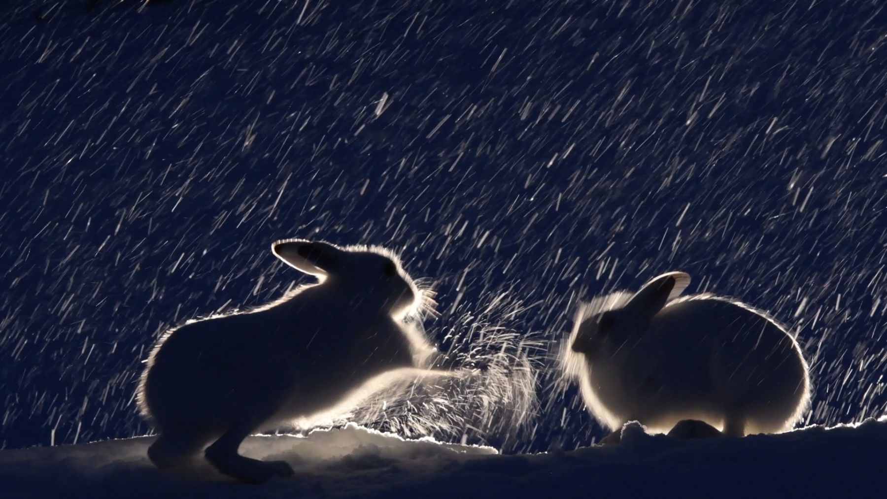 Mountain hares (Lepus timidus) fighting in the snow at night, Vauldalen, Norway, April.