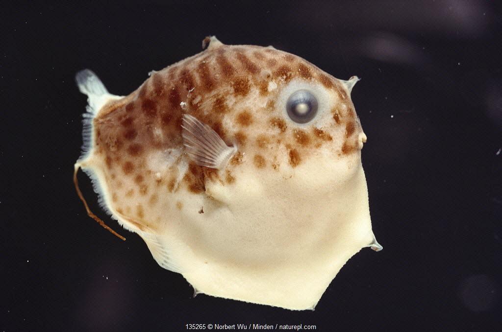 Ocean Sunfish (Mola mola) larvae