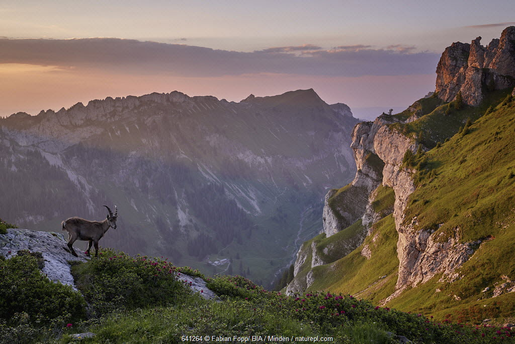 Alpine Ibex (Capra ibex) on cliff, Bernese Oberland, Switzerland