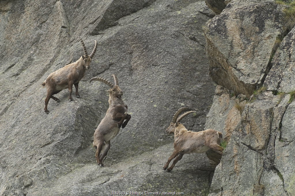 Male ibex {Capra ibex ibex} fighting for dominance on rock face, Gran Paradiso NP, Alps, Italy