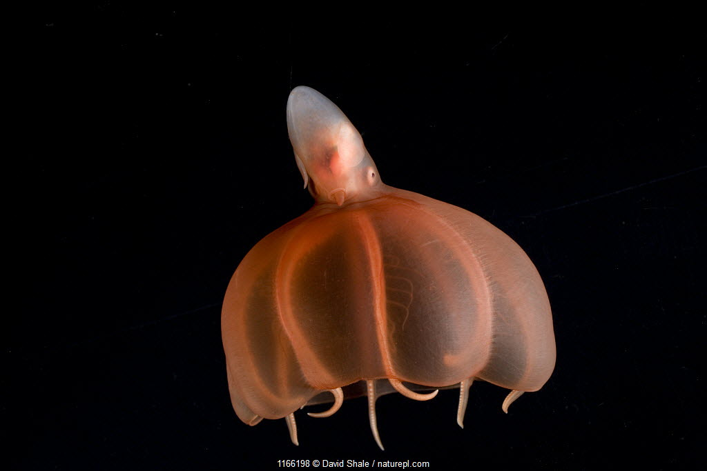 cirrate octopod