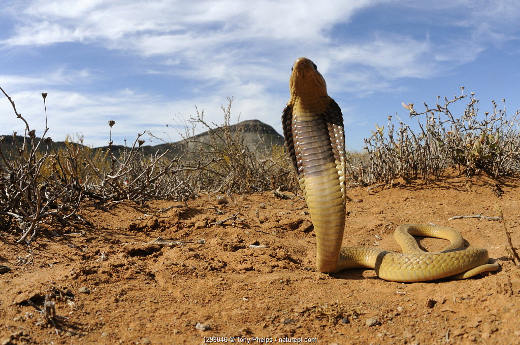 Cape Cobra (Naja nivea) juvenile with hood raised in defensive posture, Little Karoo, South Africa