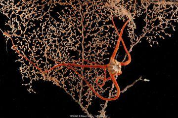 Brittlestar (Ophiuroidea) on Gorgonian seafan