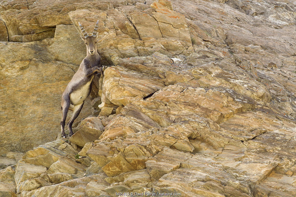 Alpine ibex (Capra ibex) climbing on steep rocks, Gran Paradiso National Park, Italy, July