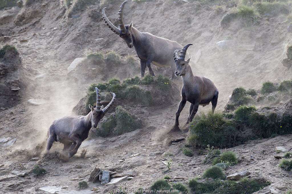 Alpine ibex (Capra ibex) adult male chasing two young males away, Gran Paradiso National Park, Italy, July